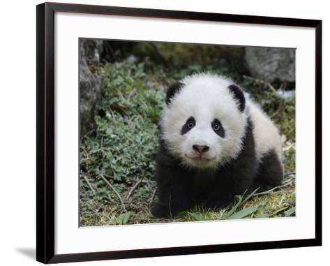 Giant Panda Baby Aged 5 Months, Wolong Nature Reserve, China-Eric Baccega-Framed Art Print