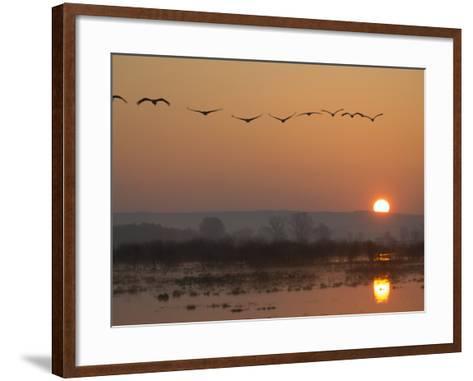 Common Cranes Flying in Formation at Sunrise, Hornborgasjon Lake, Sweden-Inaki Relanzon-Framed Art Print
