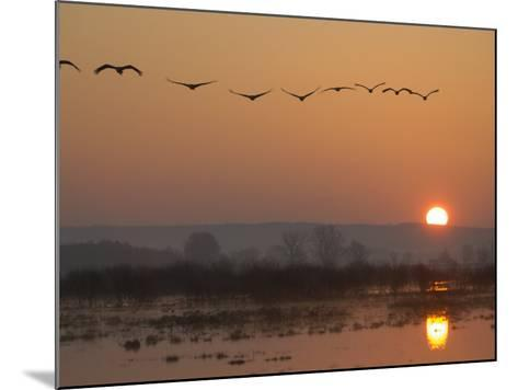 Common Cranes Flying in Formation at Sunrise, Hornborgasjon Lake, Sweden-Inaki Relanzon-Mounted Photographic Print