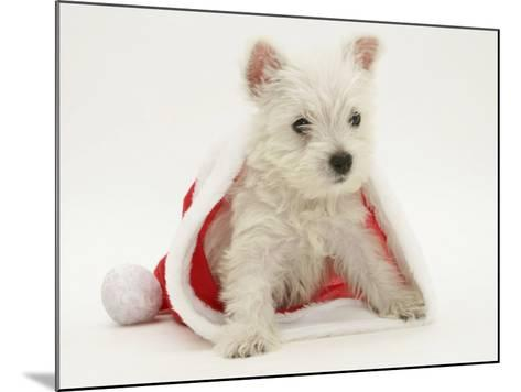 West Highland White Terrier Puppy in a Father Christmas Hat-Jane Burton-Mounted Photographic Print