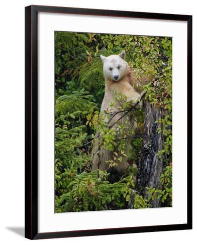 Kermode Spirit Bear, White Morph of Black Bear, Princess Royal Island, British Columbia, Canada-Eric Baccega-Framed Art Print