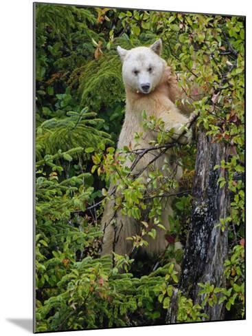 Kermode Spirit Bear, White Morph of Black Bear, Princess Royal Island, British Columbia, Canada-Eric Baccega-Mounted Photographic Print