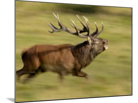 Red Deer Stag Running During Rut, Dyrehaven, Denmark-Edwin Giesbers-Mounted Photographic Print