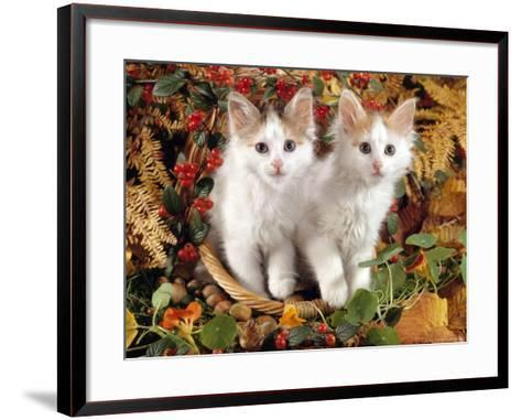 Domestic Cat, 9-Week, White-And-Tortoiseshell Sisters and in a Basket with Hazelnuts-Jane Burton-Framed Art Print