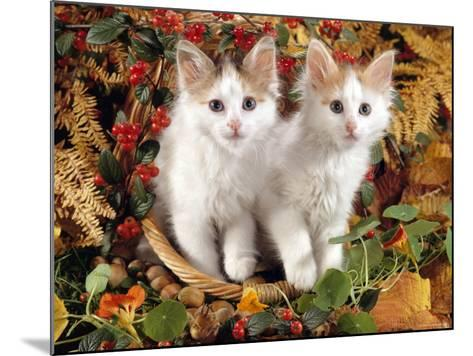 Domestic Cat, 9-Week, White-And-Tortoiseshell Sisters and in a Basket with Hazelnuts-Jane Burton-Mounted Photographic Print