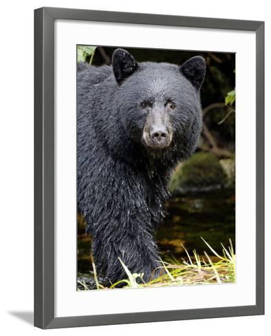 Portrait of Black Bear, Princess Royal Island, British Columbia, Canada-Eric Baccega-Framed Art Print
