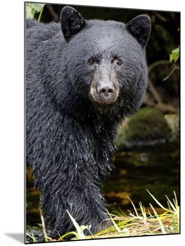 Portrait of Black Bear, Princess Royal Island, British Columbia, Canada-Eric Baccega-Mounted Photographic Print
