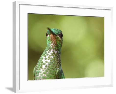 Green Crowned Brilliant Hummingbird, Costa Rica-Edwin Giesbers-Framed Art Print