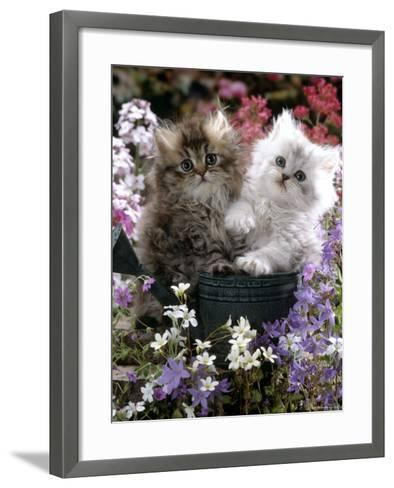 Domestic Cat, Tabby and Siver Chinchilla Persian Kittens, by Watering Can Among Bellflowers-Jane Burton-Framed Art Print