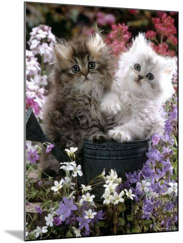 Domestic Cat, Tabby and Siver Chinchilla Persian Kittens, by Watering Can Among Bellflowers-Jane Burton-Mounted Photographic Print