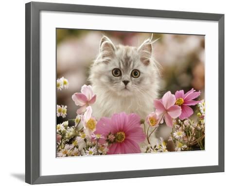 Domestic Cat, Silvertabby Kitten Among Michaelmas Dasies, Japanese Anemones and Cosmos Dasies-Jane Burton-Framed Art Print