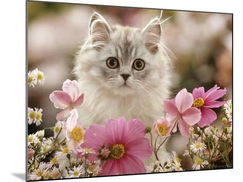 Domestic Cat, Silvertabby Kitten Among Michaelmas Dasies, Japanese Anemones and Cosmos Dasies-Jane Burton-Mounted Photographic Print