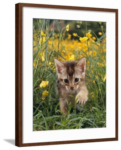 Domestic Cat, 6-Week, Abyssinian Kitten Walking in Grass with Buttercups-Jane Burton-Framed Art Print