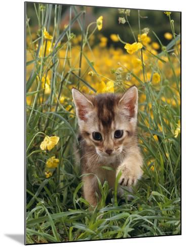 Domestic Cat, 6-Week, Abyssinian Kitten Walking in Grass with Buttercups-Jane Burton-Mounted Photographic Print