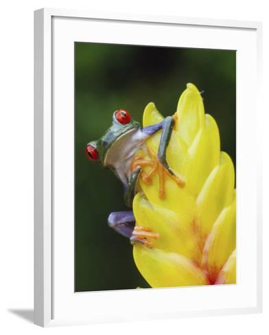 Red Eyed Tree Frog on Heliconia Flower, Costa Rica-Edwin Giesbers-Framed Art Print