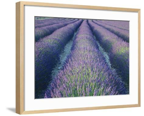 Fields of Lavander Flowers Ready for Harvest, Sault, Provence, France, June 2004-Inaki Relanzon-Framed Art Print