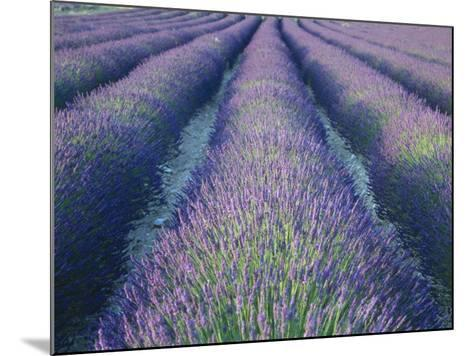 Fields of Lavander Flowers Ready for Harvest, Sault, Provence, France, June 2004-Inaki Relanzon-Mounted Photographic Print