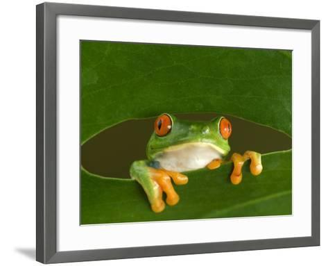 Red-Eyed Tree Frog Looking Through Hole in a Leaf, Costa Rica-Edwin Giesbers-Framed Art Print