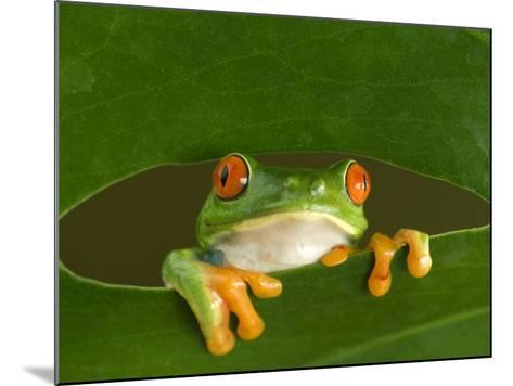 Red-Eyed Tree Frog Looking Through Hole in a Leaf, Costa Rica-Edwin Giesbers-Mounted Photographic Print