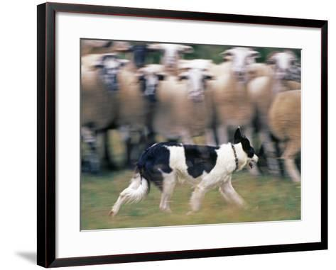 Sheepdog Rounding Up Domestic Sheep Bergueda, Spain, August 2004-Inaki Relanzon-Framed Art Print