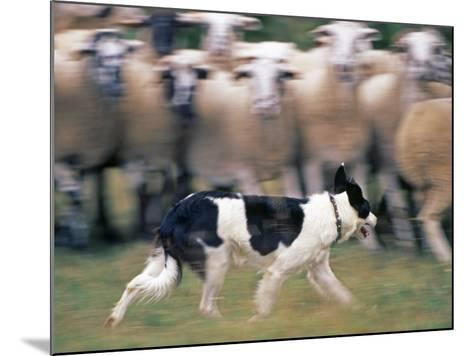 Sheepdog Rounding Up Domestic Sheep Bergueda, Spain, August 2004-Inaki Relanzon-Mounted Photographic Print