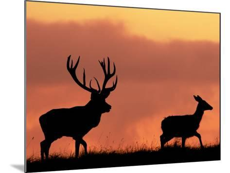 Silhouette of Red Deer Stag and Doe at Sunset, Dyrehaven, Denmark-Edwin Giesbers-Mounted Photographic Print