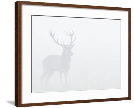 Red Deer Stag in Thick Fog, Dyrehaven, Denmark-Edwin Giesbers-Framed Art Print