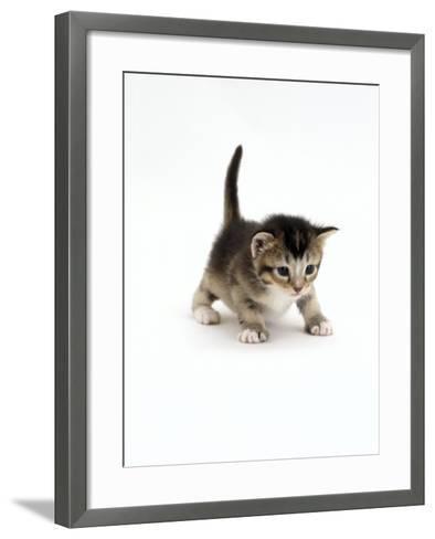 Domestic Cat, 3-Week Ticked-Tabby Kitten-Jane Burton-Framed Art Print