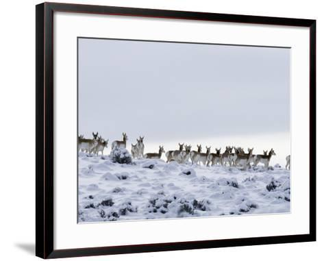 Pronghorn Antelope, Herd in Snow, Southwestern Wyoming, USA-Carol Walker-Framed Art Print