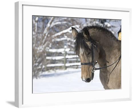 Buckskin Morgan Mare Head, Longmont, Colorado, USA-Carol Walker-Framed Art Print