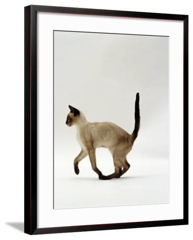 Domestic Cat, Seal Point Siamese Juvenile Running Profile-Jane Burton-Framed Art Print