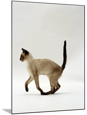Domestic Cat, Seal Point Siamese Juvenile Running Profile-Jane Burton-Mounted Photographic Print