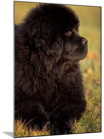 Profile Portrait of Young Black Newfoundland-Adriano Bacchella-Mounted Photographic Print