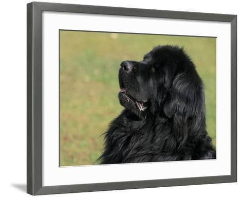 Black Newfoundland Looking Up-Adriano Bacchella-Framed Art Print