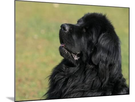 Black Newfoundland Looking Up-Adriano Bacchella-Mounted Photographic Print