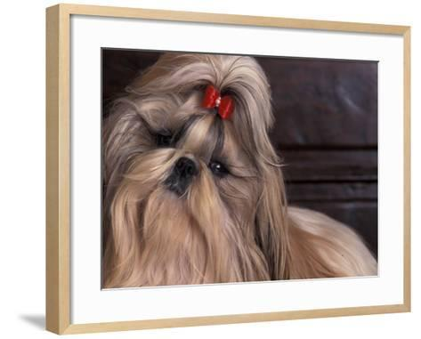 Shih Tzu Portrait with Hair Tied Up, Head Tilted to One Side-Adriano Bacchella-Framed Art Print