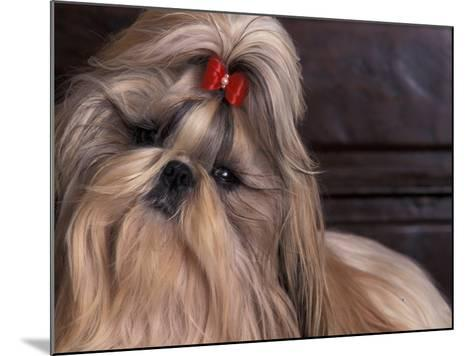 Shih Tzu Portrait with Hair Tied Up, Head Tilted to One Side-Adriano Bacchella-Mounted Photographic Print