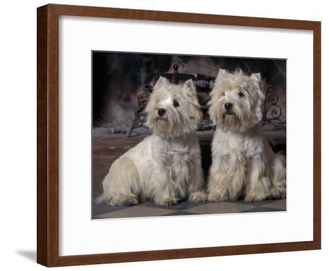 Domestic Dogs, Two West Highland Terriers / Westies Sitting Together-Adriano Bacchella-Framed Art Print