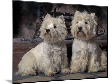 Domestic Dogs, Two West Highland Terriers / Westies Sitting Together-Adriano Bacchella-Mounted Photographic Print
