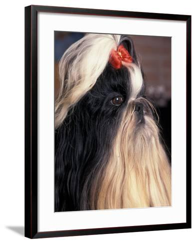 Shih Tzu Profile with Hair Tied Up-Adriano Bacchella-Framed Art Print