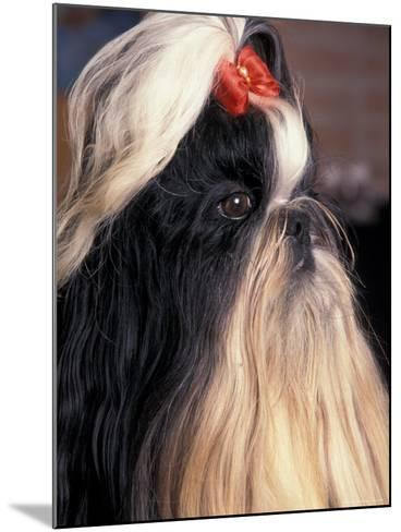 Shih Tzu Profile with Hair Tied Up-Adriano Bacchella-Mounted Photographic Print