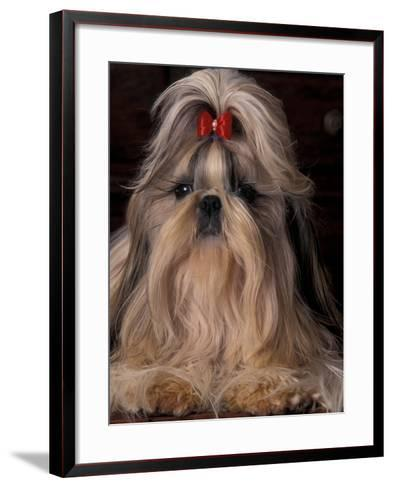 Shih Tzu Portrait with Hair Tied Up, Showing Length of Facial Hair-Adriano Bacchella-Framed Art Print