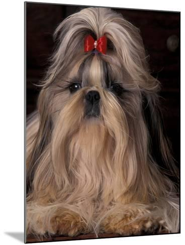 Shih Tzu Portrait with Hair Tied Up, Showing Length of Facial Hair-Adriano Bacchella-Mounted Photographic Print