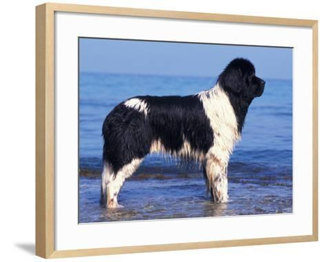 Landseer / Newfoundland Standing at the Beach-Adriano Bacchella-Framed Art Print