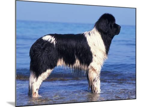 Landseer / Newfoundland Standing at the Beach-Adriano Bacchella-Mounted Photographic Print