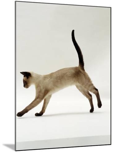Domestic Cat, Seal-Point Siamese Juvenile Running Profile-Jane Burton-Mounted Photographic Print