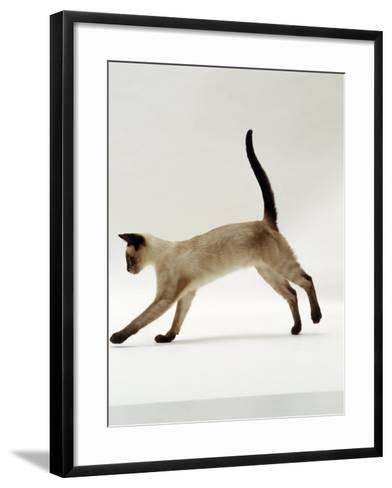 Domestic Cat, Seal-Point Siamese Juvenile Running Profile-Jane Burton-Framed Art Print