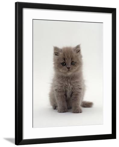 Domestic Cat, 7-Week, Male Blue Longhair Persian Kittens-Jane Burton-Framed Art Print
