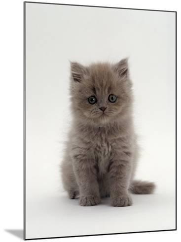Domestic Cat, 7-Week, Male Blue Longhair Persian Kittens-Jane Burton-Mounted Photographic Print