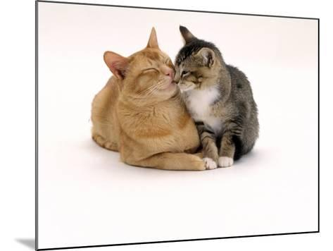 Domestic Cat Father, Red Male with His Agouti Tabby Male Kitten-Jane Burton-Mounted Photographic Print